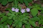 Wild Geranium, Spotted geranium, Cranesbill