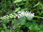 Beetleweed, Galax, Wandplant, Wandflower, Coltsfoot
