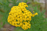 Common Tansy, Golden Buttons, Bitter Buttons, Cow Bitter, Garden Tansy