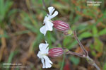 White Campion, White Cockle, Evening Lychnis