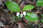 Eastern Teaberry, American Wintergreen, Checkerberry