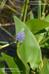 Pickerelweed, Lanceleaf Pickerelweed, Heartleaf Pickerelweed, Pickerel Rush