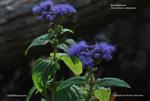 Blue Mistflower, Wild Ageratum, Mistflower - Conoclinium coelestinum