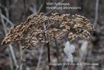 Wild Hydrangea, Sevenbark