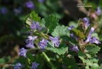 Ground Ivy, Gill-over-the-ground, Haymaids, Creeping Charlie
