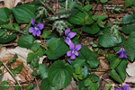 Common Blue Violet, Confederate Violet, Dooryard Violet, Meadow Violet