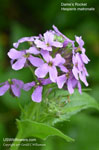 Dame's Rocket, Damask Violet, Night-scented Gilliflower, Queen's Gilliflower, Mother-of-the-evening, Summer Lilac
