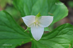 White Trillium, Nodding Wakerobin, Bent White Trillium, Bent Trillium, Drooping Trillium, Declined Trillium - Trillium flexipes