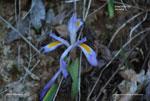 Dwarf Violet Iris, Vernal Iris, Spring Iris, Upland Dwarf Iris