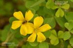Price's Wood Sorrel, Tufted Yellow Woodsorrel - Oxalis macrantha