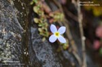 Creeping Bluet, Mountain Bluet, Thymeleaf Bluet, Appalachian Bluet, Michaux's Bluets