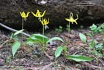 Yellow Avalanche Lily, Glacier Lily