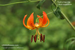 Turk�s Cap Lily, Turban Lily, Lily Royal, Swamp Lily, American Tiger Lily