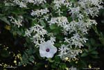 Sweet Autumn Clematis, Sweet Autumn Virginsbower, Leatherleaf Clematis, Yam-leaved Clematis