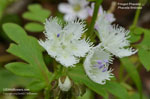 Fringed Phacelia, White Fringed Phacelia, Fringed Scorpion-Weed, Blue Ridge Phacelia, Mountain Phacelia