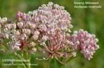 Swamp Milkweed, Western Swamp Milkweed, Pink Milkweed, Eastern Swamp Milkweed