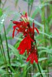 Cardinal Flower, Scarlet Lobelia