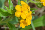 Hoary Puccoon, Orange Puccoon, Indian Paint